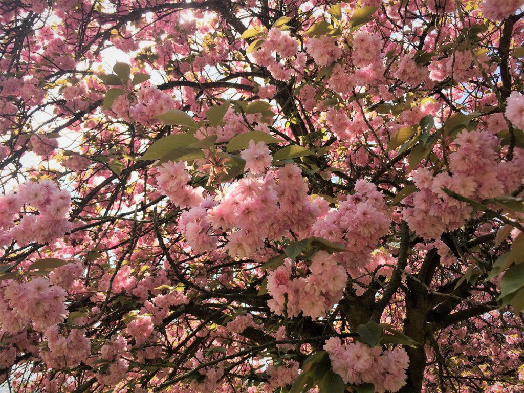 ソー公園の八重桜