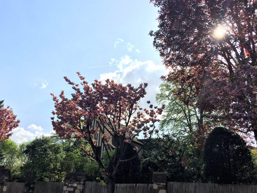 ソー公園の住宅街の桜